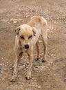 Stray Stinky Dog Royalty Free Stock Image
