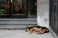 Stray street dog homeless sleeping in front of a city building Stock Photos