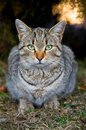 Stray tabby cat Royalty Free Stock Images