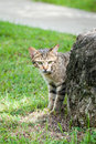 Stray tabby cat hiding behind a rock near a path feral standing on green grass and large Royalty Free Stock Photo