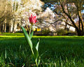 Stray tulip in lawn Royalty Free Stock Photography