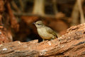 Streak eared bulbul pycnonotus blanfordi beautiful standing on the log Stock Photo