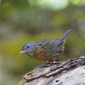 Streaked wren babbler bird napothera brevicaudata standing on the log back and side profile taken in thailand Royalty Free Stock Images
