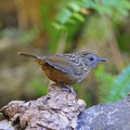 Streaked wren babbler bird napothera brevicaudata standing on the log taken in thailand Royalty Free Stock Photo