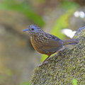 Streaked wren babbler bird napothera brevicaudata standing on the rock back profile taken in thailand Royalty Free Stock Image