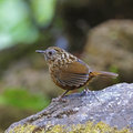 Streaked wren babbler bird napothera brevicaudata standing on the rock taken in thailand Royalty Free Stock Photo