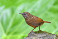 Streaked wren babbler bird napothera brevicaudata standing on the rock thailand Stock Photography