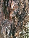 Australian gumtree bark Royalty Free Stock Photo