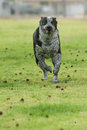 Streamlined for speed pit heeler mix has ears pulled back to run Stock Photos