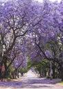 Street of beautiful purple vibrant jacaranda in bloom. Spring. Royalty Free Stock Photo