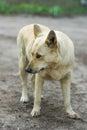 Street dog hesitate to attack portrait of Stock Photo