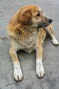 Street dog a in a small mountain city leh Stock Photography