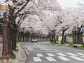 Street with sakura trees