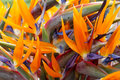 Strelitzia or Bird of Paradise Flower of Madeira Island Royalty Free Stock Photo