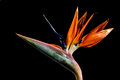 Strelitzia exotic flower called bird of paradise on black background Stock Photos