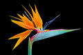 Strelitzia aka Bird of Paradise flower, isolated on black Royalty Free Stock Photo
