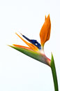 Strelitzia flower isolated on white background Stock Photo