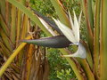 Strelitzia nicolai aka white or giant bird of paradise plant or wild banana Royalty Free Stock Photo