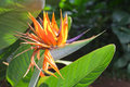 Strelitzia reginae Royalty Free Stock Photo