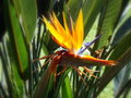 Strelitzia reginae (Bird of paradise) flower Stock Photography
