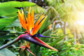 Strelitzia Reginae closeup (bird of paradise flower). Madeira is Royalty Free Stock Photo