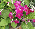 Streptocarpus hybrida laddyslippers pinot ornamental herb with primrose like leaves and several dark red flowers in branched Royalty Free Stock Photos