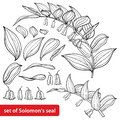 Vector set of outline Polygonatum or Solomon`s seal flower bunch with ornate leaves in black isolated on white background. Royalty Free Stock Photo