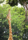 Stretching Giraffe Stock Photography
