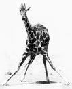 Stretching Giraffe Royalty Free Stock Photo