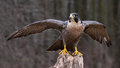 Stretching peregrine falcon a falco peregrinus spreading it s wings while perched on a stump these birds are the fastest animals Royalty Free Stock Photography