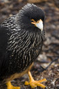 Striated Caracara - Falkland Islands Stock Images
