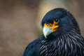 Striated caracara johnny rook falkland islands shallow depth of field photography Stock Photo