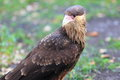 Striated caracara the upper body of juvenile Stock Photo