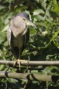 Striated heron Royalty Free Stock Photos