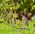 Striated Heron at the Amazon river Royalty Free Stock Photo