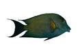 Striated surgeonfish Royalty Free Stock Photo