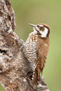 Strickland's (Arizona) Woodpecker Royalty Free Stock Photos