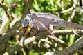 Striking chameleon Royalty Free Stock Photo