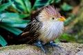 A striking closeup pose of a guira cuckoo bird or puffy fluffy with orange beak Royalty Free Stock Photos
