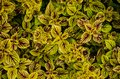 Striking green and burgundy variegation of Coleus plants Royalty Free Stock Photo