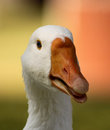 Striking picture of a goose head with open beak tongue close up Royalty Free Stock Image