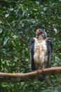 Striking South American King Vulture bird with orange beak Royalty Free Stock Photo
