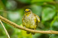 Stripe throated bulbul bird pycnonotus finlaysoni on the branch Royalty Free Stock Images