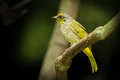 Stripe throated bulbul bird pycnonotus finlaysoni in nature Royalty Free Stock Image