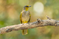 Stripe throated bulbul bird pycnonotus finlaysoni in nature Royalty Free Stock Photo