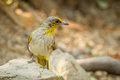 Stripe throated bulbul bird pycnonotus finlaysoni on the rock in nature Royalty Free Stock Photography