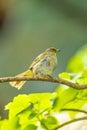 Stripe throated bulbul bird pycnonotus finlaysoni take a shower Stock Image