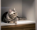 Striped British gray cat lying. Royalty Free Stock Photo