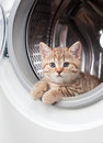 Striped british kitten inside laundry washer Royalty Free Stock Photo