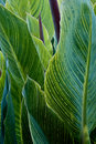 Striped Cannas Royalty Free Stock Photography